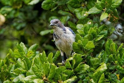 Nepenthe Blue Jay
